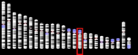 human_chromosome_15