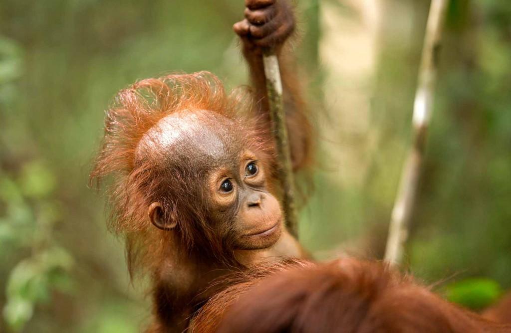 orangutan-baby